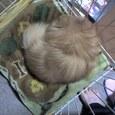 『イヌは家で丸くなる~。(エル♂3歳)』 Yone_ling presents